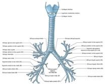 árvore bronquica