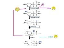 B - Aula 5 - Catecolaminas